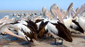 Het gladstrijken van pelikanen Royalty-vrije Stock Foto