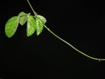 Het glanzen dauwdalingen op bladerenachtergrond Stock Fotografie