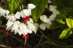 Het glanzen waterdalingen bij het Aftappen Hartwijnstok het bloeien Stock Afbeeldingen