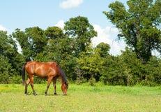 Het glanzende baai Arabische paard weiden Stock Afbeeldingen
