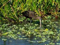 Het glanzende Ibis Voederen Royalty-vrije Stock Foto