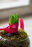 Het glasvorm van de bloemhyacint met roze lint en mos Stock Foto