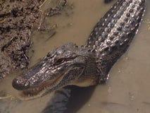 Het glimlachen Gator Stock Foto's
