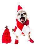 Het glimlachen hondchihuahua in het kostuum van de Kerstman met rode die Kerstmisboom op witte achtergrond wordt geïsoleerd Chine Stock Foto