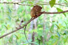 Het glimlachen leuke meer tarsier Stock Fotografie