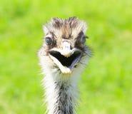 Het glimlachen ostich en de Dierentuin van het Wereldwild in Arizona Stock Foto's