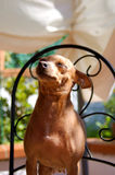 Het glimlachen Pinscher Royalty-vrije Stock Afbeeldingen