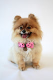 Het glimlachen Pomeranian met stippenboog Royalty-vrije Stock Foto's