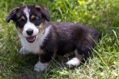 Het glimlachen van Corgi-Puppy in het gras royalty-vrije stock afbeelding
