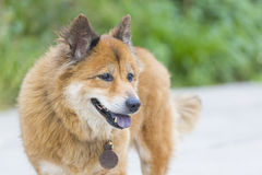 Het glimlachen van de hond Stock Foto's