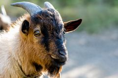 Het glimlachen van geit op onscherpe achtergrond royalty-vrije stock fotografie
