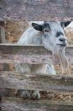 Het glimlachen van grijze geit die door houten omheining 2 kijken Royalty-vrije Stock Afbeelding