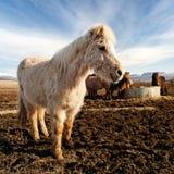 Het glimlachen van Ijslands paard in een landbouwbedrijf Royalty-vrije Stock Foto's