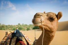 Het glimlachen van kameel die in lens kijken. Zachte nadruk Royalty-vrije Stock Afbeeldingen