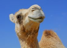 Het glimlachen van kameel die in lens kijkt Stock Afbeeldingen