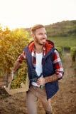 Het glimlachen van mens het oogsten druiven van wijnstokken in wijngaard Royalty-vrije Stock Foto