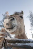 Het glimlachen van paard in Lapland Royalty-vrije Stock Afbeeldingen