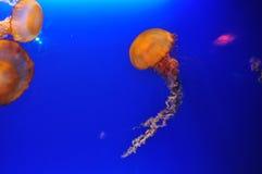 Het gloeien kwallen in aquarium Stock Foto's