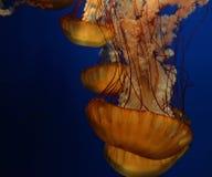 Het gloeien oranje kwallen die in diep blauw water drijven stock afbeeldingen