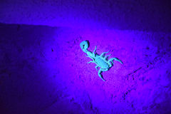 Het gloeien Schorpioen Stock Afbeelding