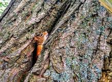Het gluren Eekhoorn royalty-vrije stock afbeeldingen