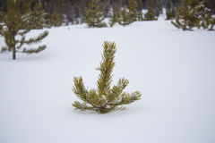 Het gluren uit de sneeuw Royalty-vrije Stock Foto