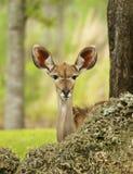 Het Gluren van de gazelle stock afbeeldingen