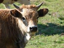 Het goed natured koe vreedzaam stellend stock afbeeldingen