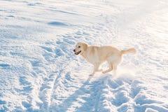 Het golden retriever loopt in de sneeuw Royalty-vrije Stock Fotografie