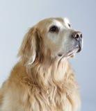Het Golden retriever van de hond Stock Afbeelding