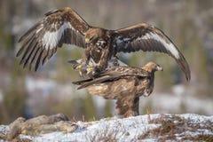 Het gouden adelaar landen stock foto