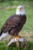 Het gouden adelaar letten op op het vooruitzicht en status royalty-vrije stock afbeeldingen