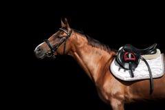 Het gouden die portret van het kastanjepaard in uitrusting op zwarte rug wordt geïsoleerd Royalty-vrije Stock Foto