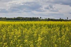Het gouden gebied van bloeiend raapzaad met blauwe hemel - brassica napus - plant voor de groene energie en olieindustrie Royalty-vrije Stock Foto's