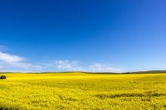 het gouden gebied van bloeiend raapzaad met blauwe hemel - brassica napus - plant voor de groene energie en olieindustrie, Mildur stock afbeeldingen