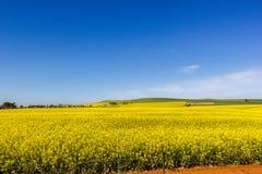 het gouden gebied van bloeiend raapzaad met blauwe hemel - brassica napus - plant voor de groene energie en olieindustrie, Mildur royalty-vrije stock foto