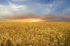 Het gouden Gebied van de Tarwe Stock Foto