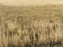 Het gouden gebied van het de winterriet Stock Afbeeldingen