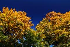Het gouden gebladerte van de daling en donkerblauwe hemel royalty-vrije stock fotografie