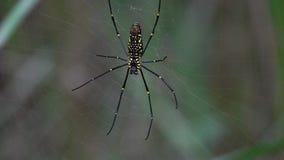 Het gouden orb spinnephila hangen op Web stock videobeelden