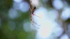 Het gouden orb spinnephila hangen op Web stock video