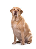 Het gouden overgewicht van Labrador Stock Fotografie