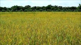 Het gouden padiegebied in de bries en het zonlicht is klaar voor oogst stock videobeelden