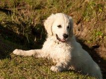 Het gouden puppy van de Retriever Stock Foto