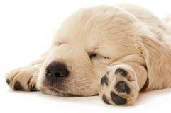 Het gouden Puppy van de Retriever Stock Fotografie
