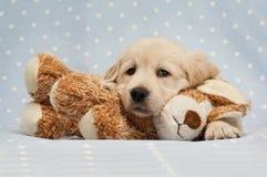 Het gouden Puppy van de Retriever Royalty-vrije Stock Afbeelding