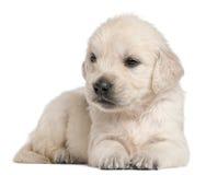 Het gouden puppy van de Retriever, 4 weken oud stock afbeeldingen