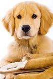 Het gouden Puppy van de Retriever met Pantoffels Stock Afbeelding