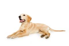 Het gouden puppy van de retrieverhond dat op wit wordt geïsoleerd? stock afbeeldingen