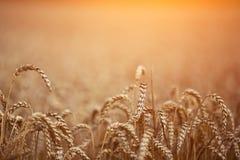 Het gouden rijpe tarwegebied, zonnige dag, zachte nadruk, landbouwlandschap, het groeien installatie, cultiveert gewas, herfstaar stock afbeeldingen